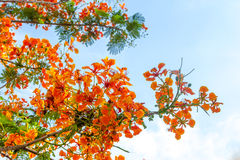 Płomienia drzewa kwiat Obrazy Royalty Free