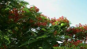 Płomienia drzewo lub Królewski poinciana drzewo jesteśmy kwitnący i machający z wiatrem zbiory wideo