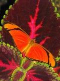 Płomienia Motyli odpoczywać na Coleus Obrazy Royalty Free
