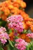 Płonący Katy kwiatu - Kalanchoe Blossfeldiana Obrazy Stock