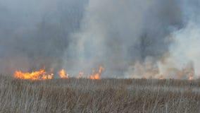 Płonący ogień w naturze, katastrofa naturalna Ogromny wysoki płomień burza ogień który pali suchej trawy i krzaków w lesie zbiory wideo