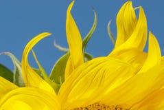 płonący słonecznika Obraz Stock