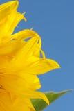 płonący słonecznika Zdjęcia Stock