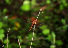 P?onie Cedzakowego dragonfly umieszczaj?cego na suchej ga??zce fotografia royalty free