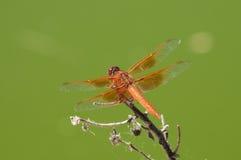 Płonie Cedzakowej libellula saturata smoka komarnicy nad wodą Obrazy Stock