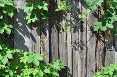 płotowa roślina Fotografia Stock
