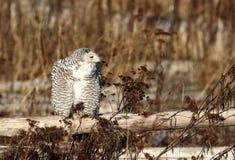 płotowej sowy śnieżny drewniany Zdjęcie Royalty Free