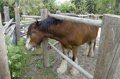 płotowy koński patrzeć Obrazy Stock