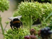 Płowa ogoniasta królowej pszczoła Zdjęcie Royalty Free