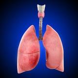 Płuca odizolowywający na błękitny tle Obrazy Stock