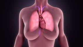 Płuca z sercem royalty ilustracja