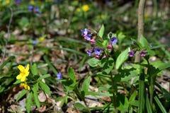 Płucnik i anemon w wiosna lasowych Kwitnących dzikich kwiatach obrazy stock