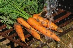 Płuczkowe świeże marchewki, ogrodnictwo obraz stock