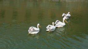 Płynąć w dystansowego cztery pelikana Zdjęcie Royalty Free