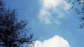 Płynący chmurę, drzewa koronują kołysanie w wiatrze, metasequoia, dżungla, las zbiory