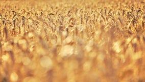 Płytka głębia pole - pszeniczny pole zaświecał złotym popołudniowym słońcem, ładny zamazany bokeh w przedpolu, przestrzeni dla te fotografia royalty free