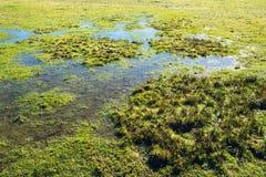 Płytka woda powodziowa zostaje na trawy polu w bagno terenie w wczesnej wiośnie Zdjęcia Royalty Free