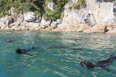 Pływać foki w Abel Tasman parku narodowym Obraz Stock
