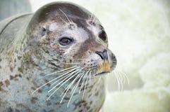 Pływać foki w czystej wodzie Zdjęcie Royalty Free