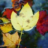 Pływać liście Zdjęcie Stock