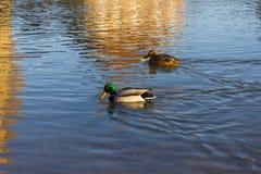 Pływać nurkuje na boże narodzenie Grudnia popołudnia rzece Zdjęcie Royalty Free
