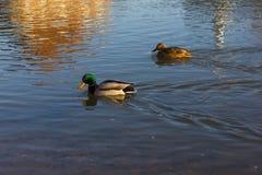 Pływać nurkuje na boże narodzenie Grudnia popołudnia rzece Zdjęcia Stock