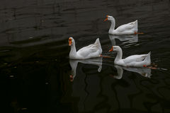Pływać statkiem w stawie w Wielkiej Białej gąsce Zdjęcia Royalty Free