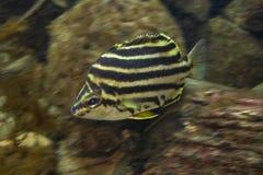 Pływać Stripey w akwarium zdjęcia royalty free