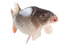 Pływacka karp ryba odizolowywająca na białym tle Fotografia Stock
