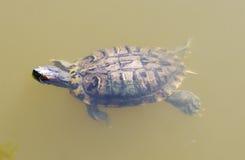 Pływacki żółw Obraz Royalty Free