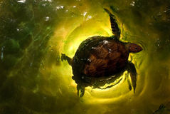 pływacki żółw Zdjęcia Stock