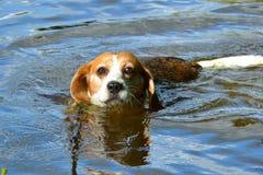 Pływacki Beagle fotografia stock