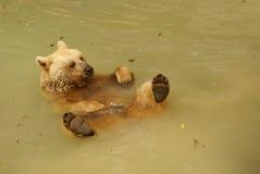 Pływacki brown niedźwiedź Zdjęcia Stock