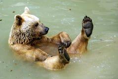 Pływacki brown niedźwiedź Obraz Royalty Free