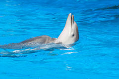 Pływacki delfin Zdjęcie Stock