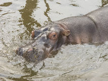 Pływacki hipopotam Obraz Royalty Free