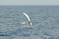 Pływacki humpback wieloryb fotografia royalty free