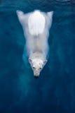 Pływacki niedźwiedź polarny, biały niedźwiedź w błękitne wody zdjęcia royalty free