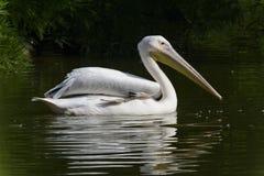 Pływacki pelikan fotografia stock