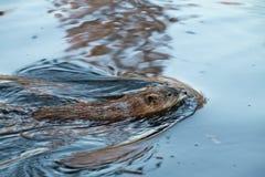 Pływacki piżmoszczur Zdjęcia Stock