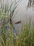 Pływacki piżmoszczur Fotografia Royalty Free