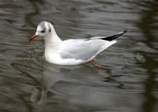 Pływacki ptak Obrazy Royalty Free
