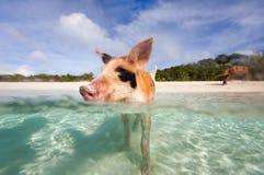 Pływackie świnie Exumas Zdjęcie Stock