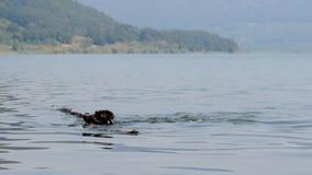 Pływackiego psa jezioro zbiory wideo