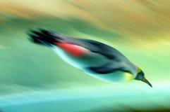 Pływaczka ptak zdjęcie stock