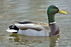 pływanie kaczki zdjęcie stock