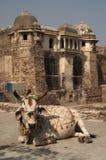 płótna krowa. Obrazy Royalty Free