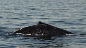 60p закрывают вверх нанесенного шрам горба кита видеоматериал