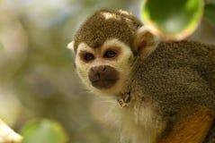 P названный обезьяной Стоковое Изображение RF