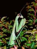 P 光芒螳螂 库存图片